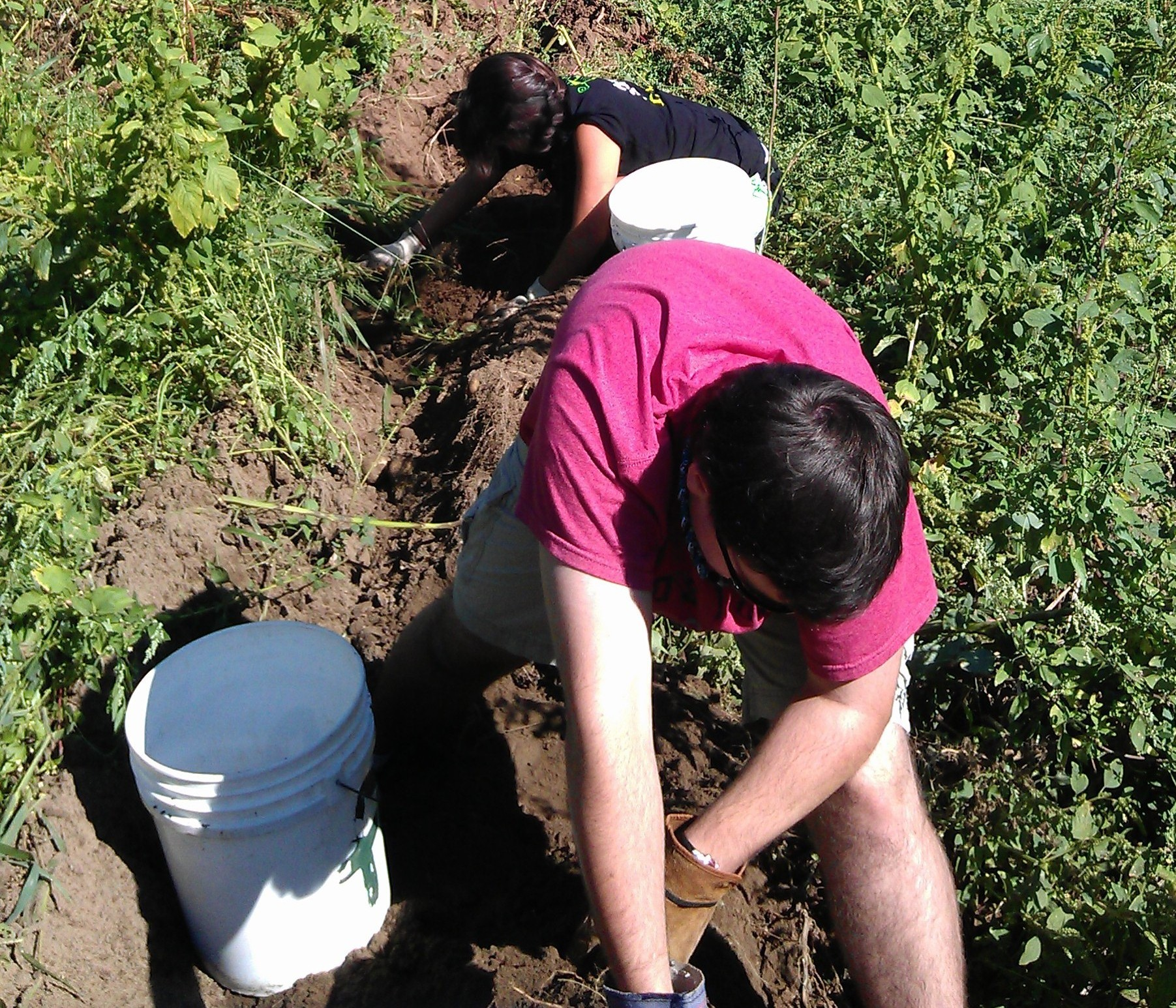 Volunteers dug through the dirt carefully, searching for every potato
