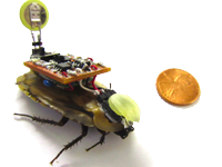 "The roboroach's ""backpack"" allows it to be controlled with a simple remote control. 